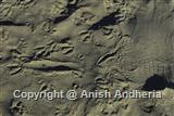 Gharial Impression of Sand