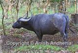 Asian Water Buffalo