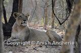 Asiatic Lion (female)