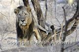 Asiatic Lion (male)