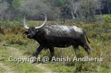 Asiatic Wild Buffalo