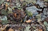 Black Bear Faeces