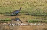 Black Ibis or Red-naped Ibis