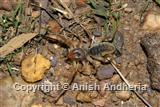 Camel Spider or Windscorpion