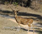 Spotted Deer (Chital)