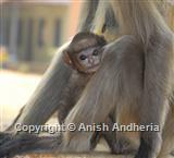 Common Langur baby
