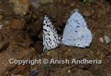 Common Pierrot & Hedge Blue