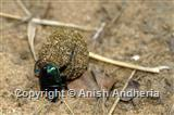 Dung Roller Beetle