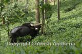 Gaur in a tea estate