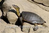 Indian Flapshell Turtle