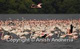 Lesser & Greater Flamingo