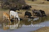 Livestock at a waterhole