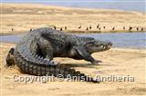 Marsh Crocodile (Mugger)