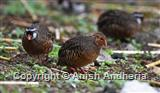 Painted Bush Quail