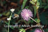 Solitary bee on Mimosa flower