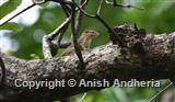 Southern Tree Shrew