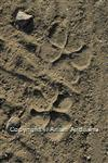 Striped Hyena track